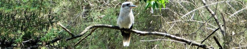 Bright kookaburra